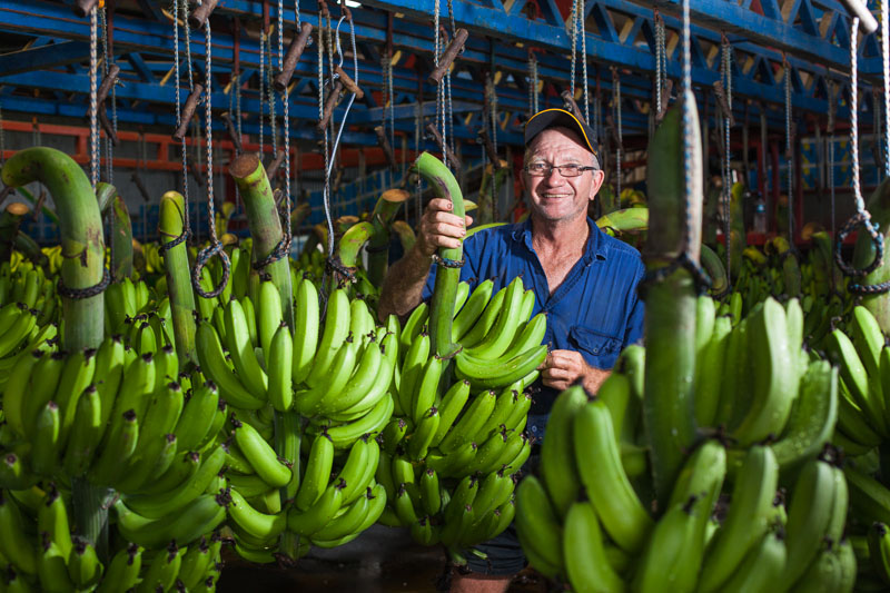 Portrait of a banana surrounded by bunches of bananas in a packing shed, Innisfail