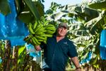 A banana farmer carrying a harvested bunch, near Tully
