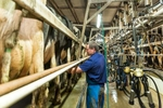 A farmer does the morning milking of cows via modern technology in a dairy near Malanda
