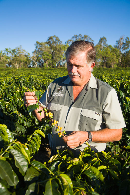A farmer looking at coffee cherries on the vine, Mareeba