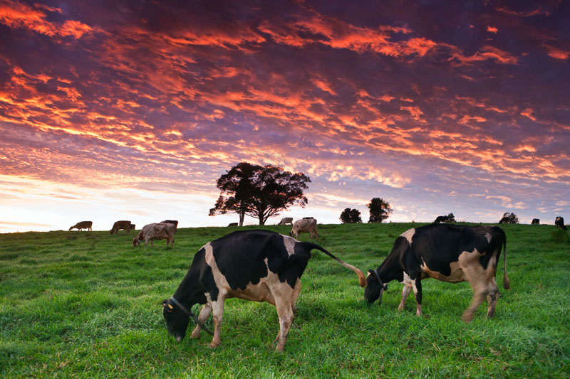 Dairy cows grazing in paddocks with sunrise clouds beyond, Millaa Millaa