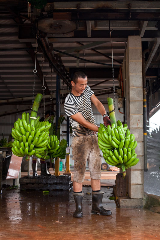 Male worker processing bunches of bananas harvested on a banana farm, South Johnstone