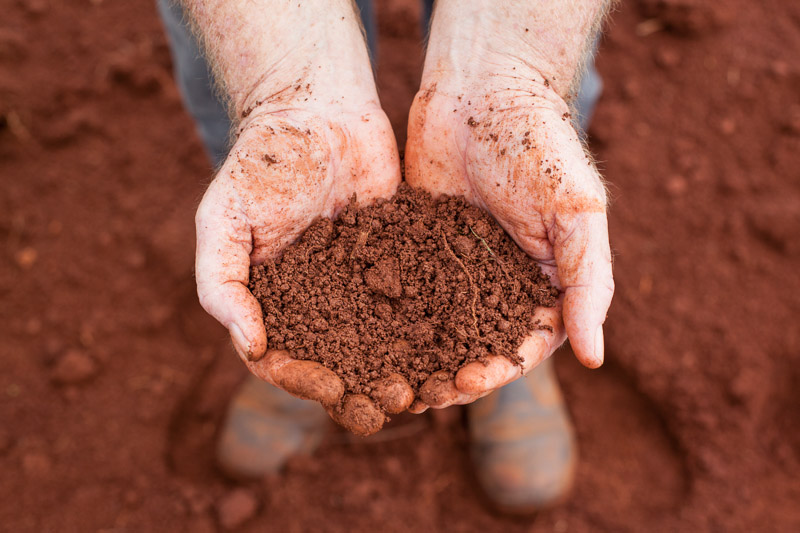 Hands holding rich red soil used for growing bananas, Innisfail