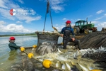 Workers haul live Barramundi from ponds of a fish farm near Cairns - industrail photographer