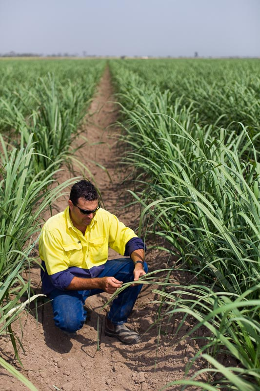 A farmer inspecting the leaves of his sugar cane crop near Mareeba on the Atherton Tablelands.