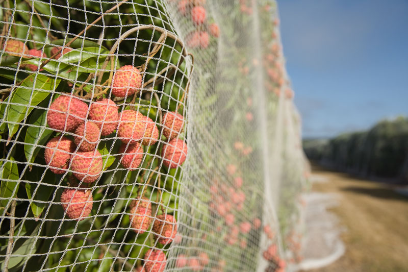 Netting covering lychee trees to protect fruit from flying foxes and birds, Mareeba