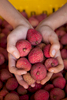 Hands holding fresh picked lychee fruit, Mareeba