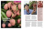 Magazine Photography - Tablelands lychee farming.  Inside story for Good Taste magazine.