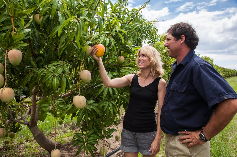 A couple inspecting mango fruit on the trees at a Mareeba farm, Mareeba