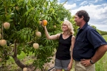 A couple inspecting mango fruit on the trees at a Mareeba farm, Mareeba