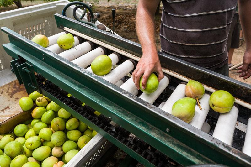 A worker processing mangoes freshly harvested, Mareeba