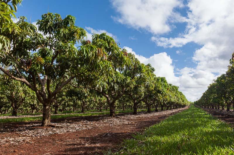 Rows of mango trees at a Tolga farm