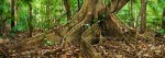 Butress roots on the rainforest floor Cape Tribulation, Daintree National Park, North QueenslandImage available for licensing or as a fine-art print... please enquire