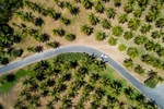 Aerial view of car driving through a coconut palm-lined road, Port Douglas