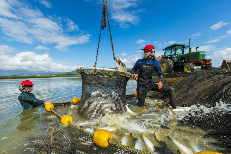 Workers using a net to harvest live barramundi from a fish farm, near Cairns