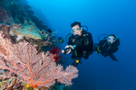 A male and female scuba divers looking at colourfau sea fans