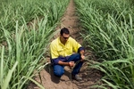 Sugar cane farmer inspecting the leaves of his crop, Atherton Tablelands
