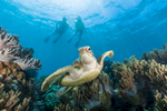 Underwater photo of sea turtle with snorkellers swimming above on the Great Barrier Reef, near Cairns