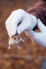 Dr. Richard S. Ostfeld of the Cary Institute of Ecosystem Studies holds a white-footed mouse caught in an animal trap in Millbrook, New York on November 4, 2016. Photo by Stephen Reiss for NPR.
