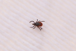 A female blacklegged tick found across the road from the Cary Institute of Ecosystem Studies in Millbrook, New York on November 4, 2016. Photo by Stephen Reiss for NPR.