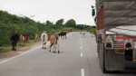 A common scene on the roads and freeways of India are cows wandering free.  If a driver hits a cow or pedestrian, the driver can be pulled out of the car and beaten by passersby.
