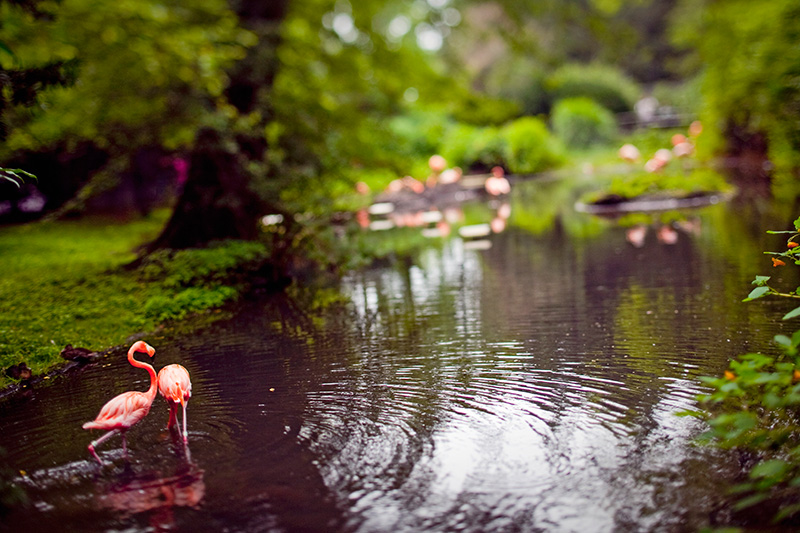 A flamingo assaults his brethren at the Bronx Zoo on Aug. 12, 2009.