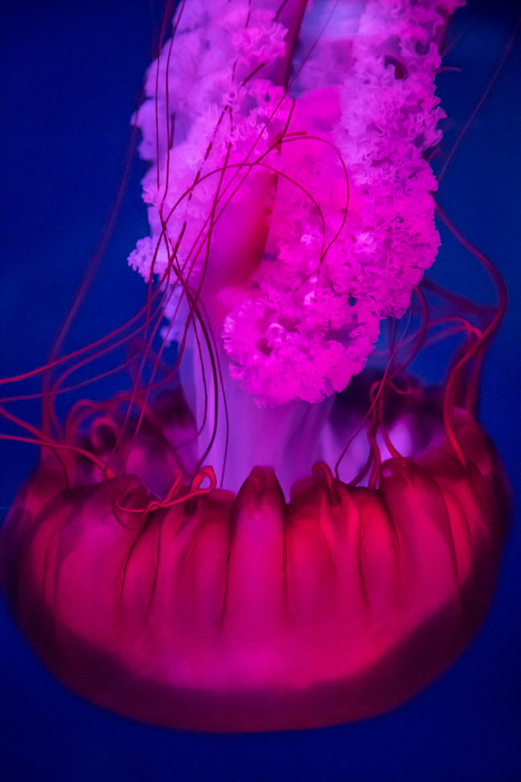 Jellyfish in the Dubai Aquarium