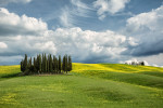 The Cypress grove Of Val D'Orcia