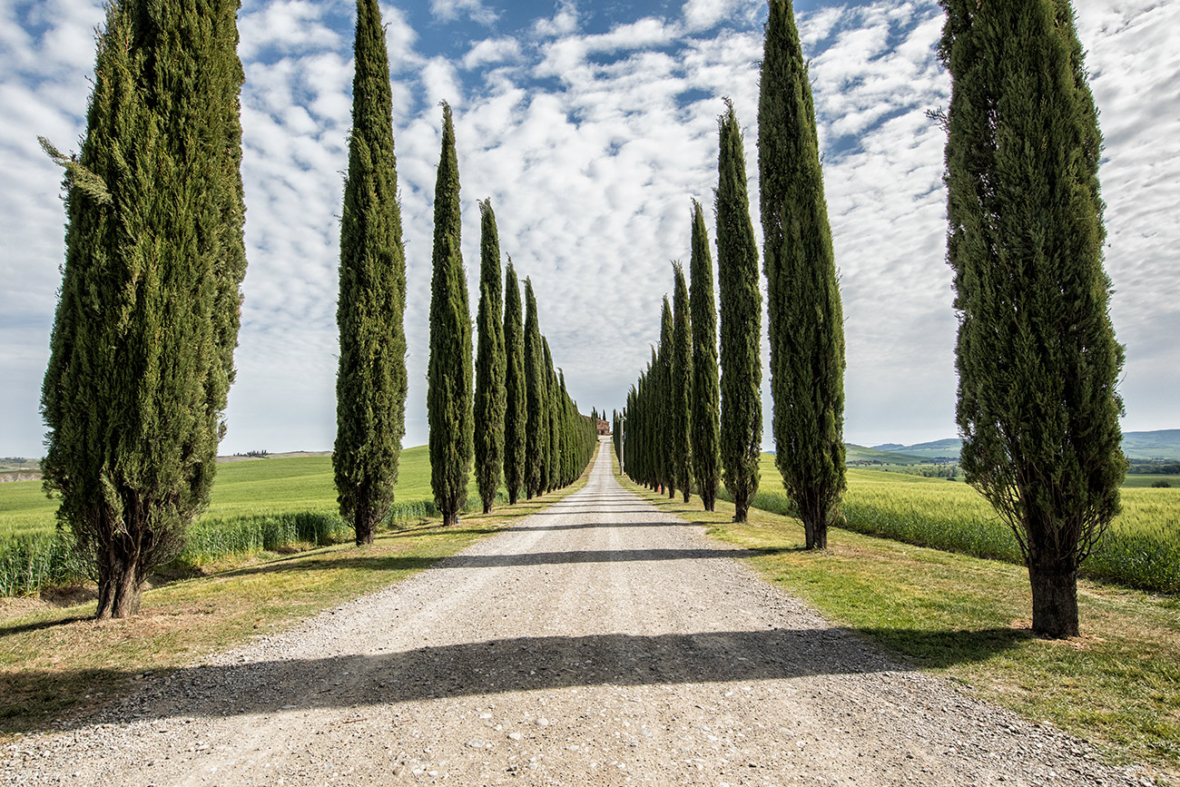 The Italian Cypress of Tuscany