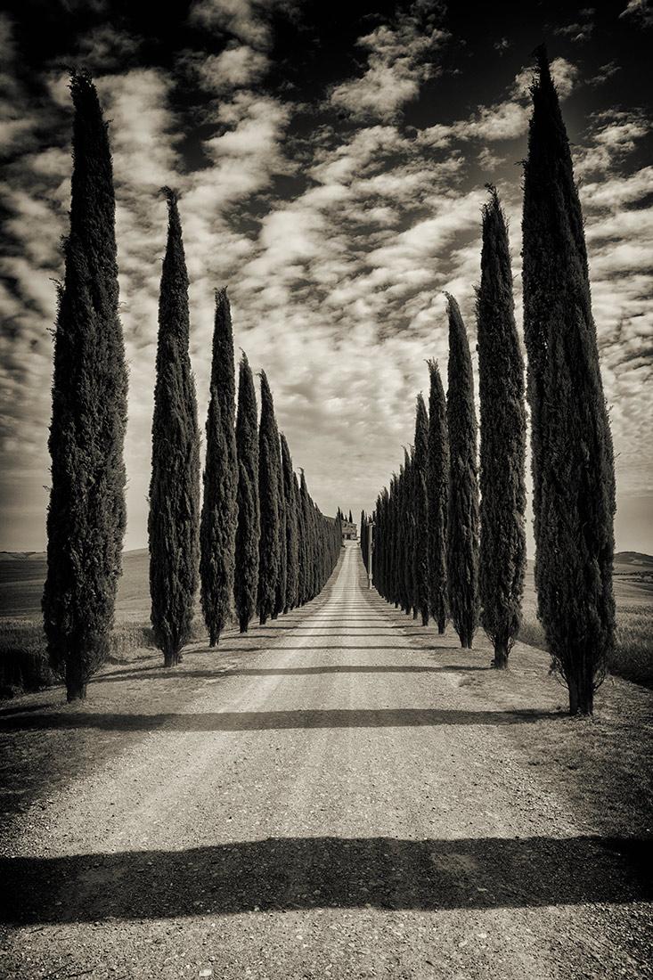 Tuscany Italian Cypress