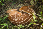 A fawn curled up in the Palouse