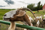 The hippy goat and his goatee