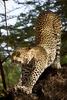 africa_leopard_stretch_01