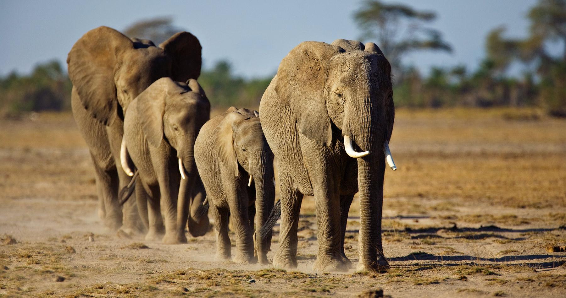 african_elephants_intro