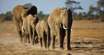 african_elephants_intro