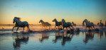 White horses of the Camargue, France