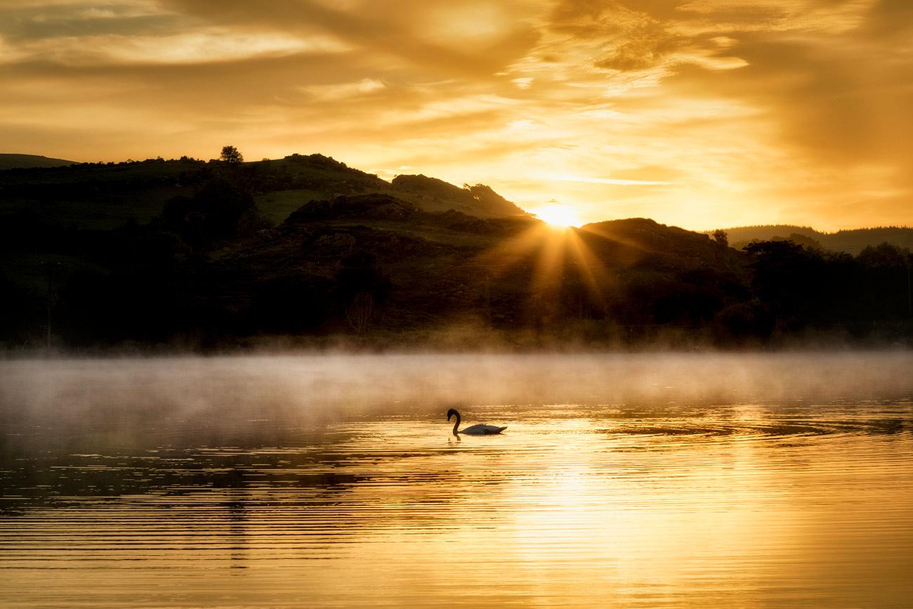Swan at sunrise at Gougane Barra Lake, Ireland