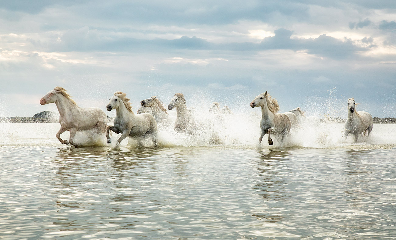 The white Camargue horses in France
