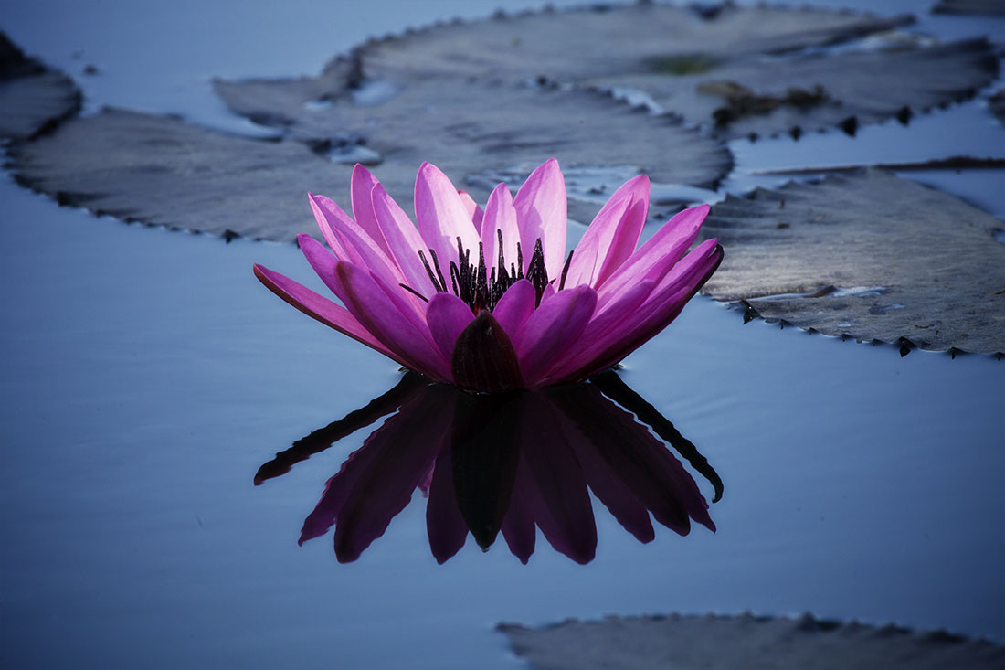 Water lillies in Burma