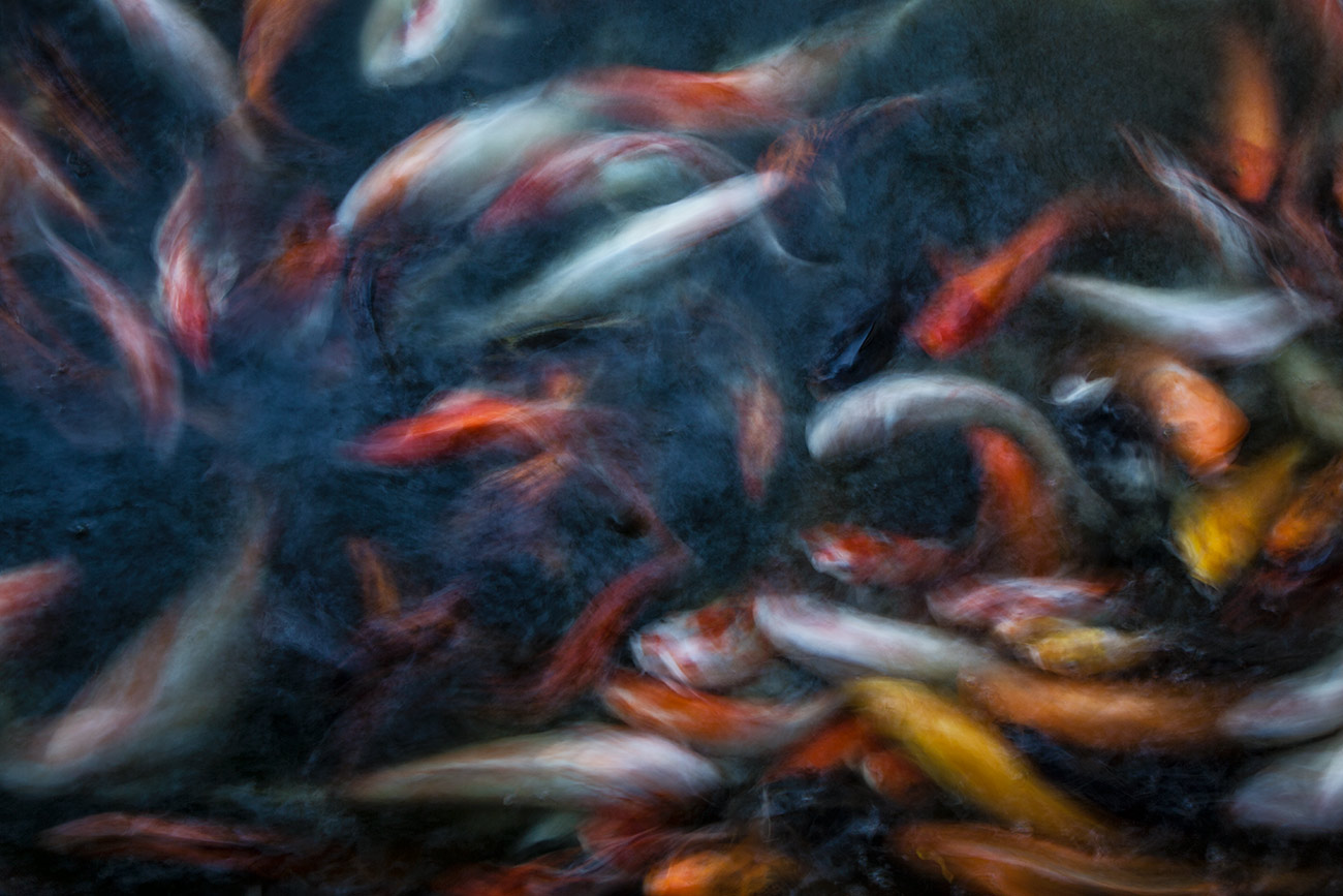 Coy fish in Mandalay, Burma