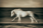camargue_horse_running_in_motion_motion_blur_france