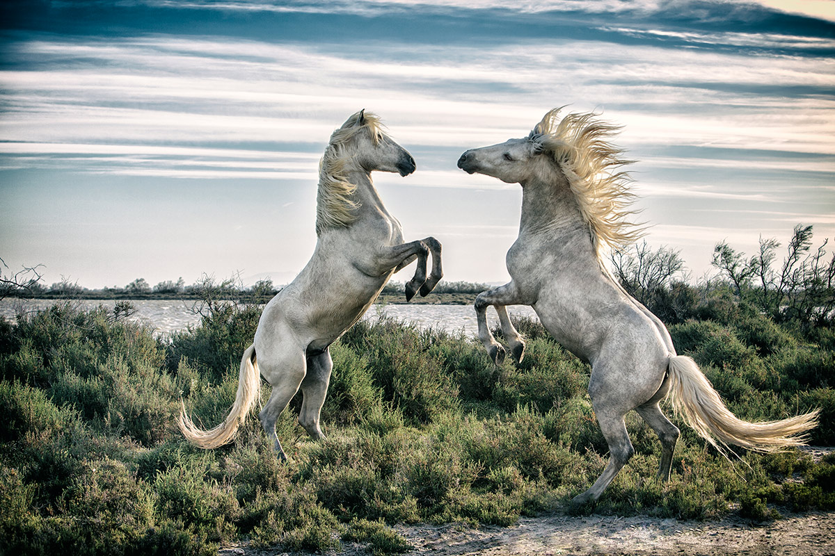 Fighting Camargue Stallions by the water in France