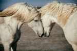 camargue_horse_workshop_2014_003
