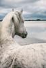 Holly's white horse image
