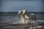 camargue_horse_workshop_2014_025