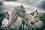 camargue_horse_workshop_2014_028