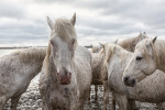 camargue_horse_workshop_2014_029