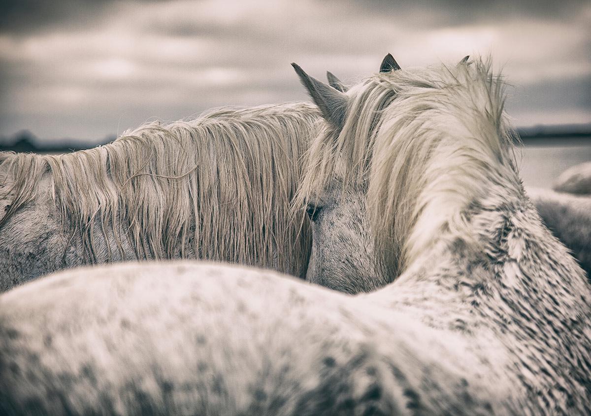 Holly's white horse image
