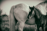 camargue_horse_workshop_2014_049