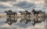 The white Camargue horses in the south of France